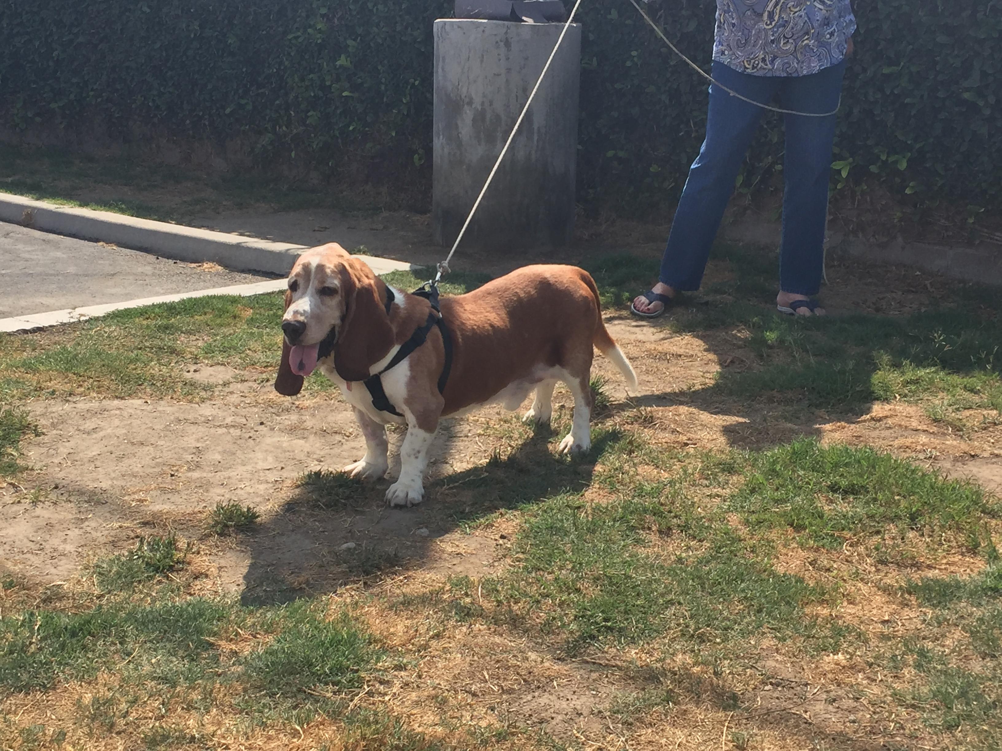 Rufus 3 - www bassethoundrescue org
